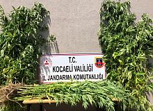 Kocaeli İl Jandarma Komutanlığı,kenevir bitkisi yetiştirenleri yakaladı