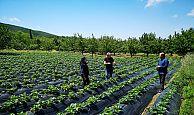 Büyükşehir, desteklediği çilek bahçelerin kontrolünü yapıyor