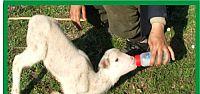 Doğum yaparken ölen koyunun yavrusunu biberonla besliyor