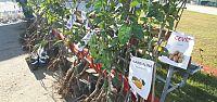 Kandıralı çiftçiler meyve fidanlarıyla